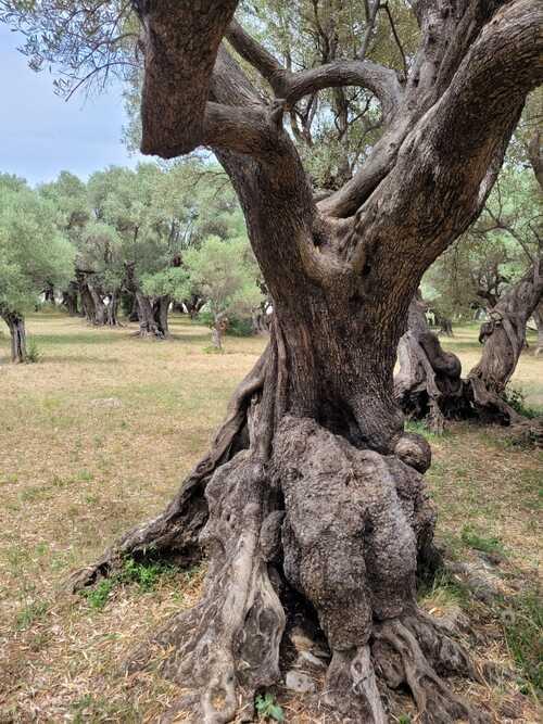 L'oliveraie Partégal à la Farlède (Var)