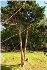 arbre bois d'inde