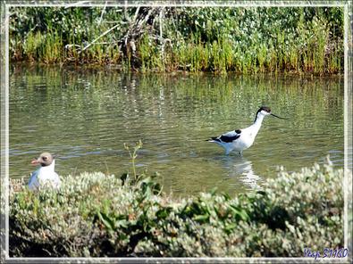 Avocette élégante, Pied Avocet (Recurvirostra avosetta) - Ars-en-Ré - Île de Ré - 17