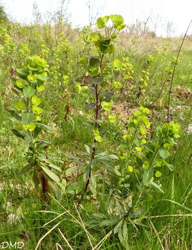 Euphorbia amygdaloides  -  euphorbe des bois