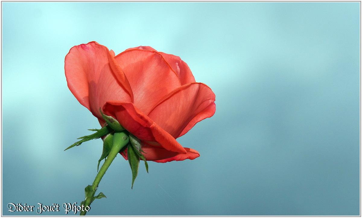 Rose (3) - Rosa