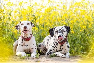 Des amours de chiens ...