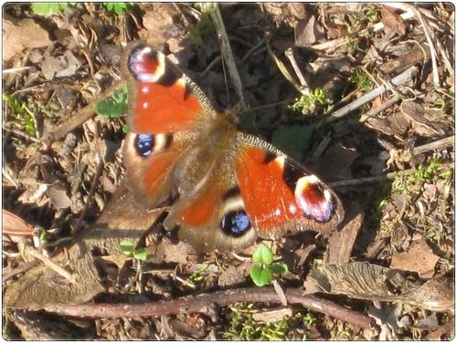 Premier papillon : un paon du jour