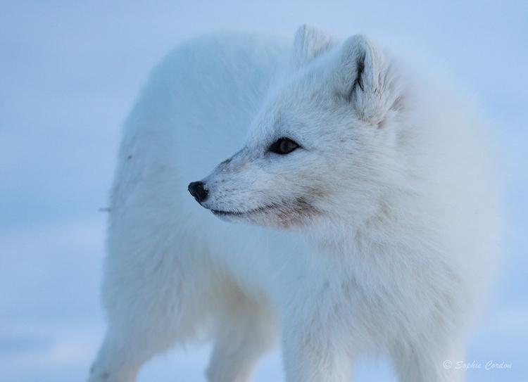 Fluffy foxy