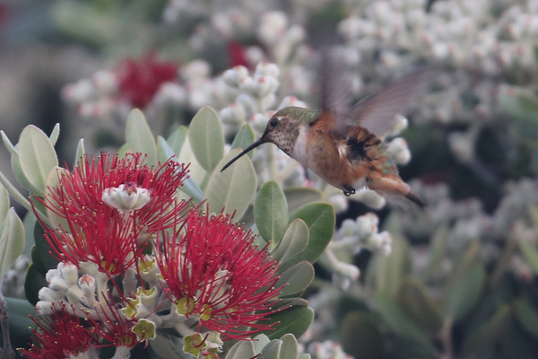 Allen's Hummingbird - Long Beach