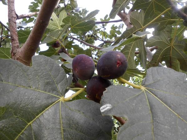 Chez Mildéfis n° 216 fruits sur l'arbre