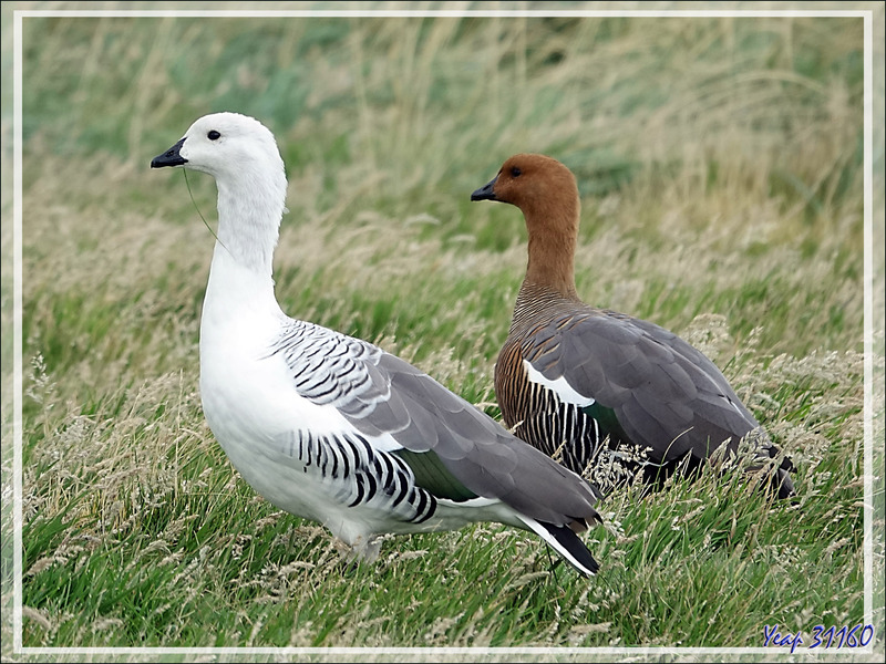 Sur le chemin du retour, nous trouvons un troupeau d'Ouettes de Magellan, Upland Goose, Cauquén Común (Chloephaga picta picta) - New Island - Falkland (Malvinas, Malouines) - Grande-Bretagne