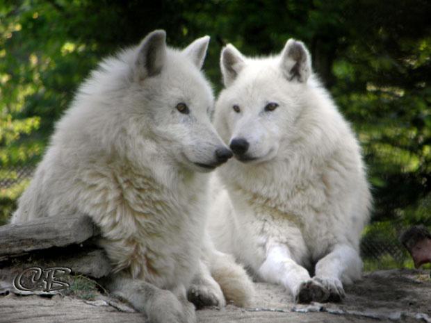 Parc de Ste-Croix couple de loups blancs
