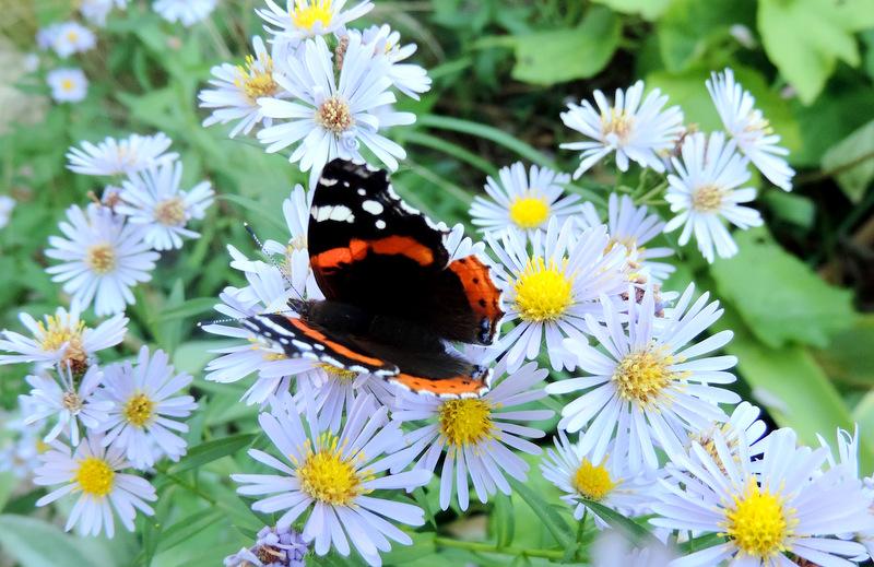 Papillons au jardin