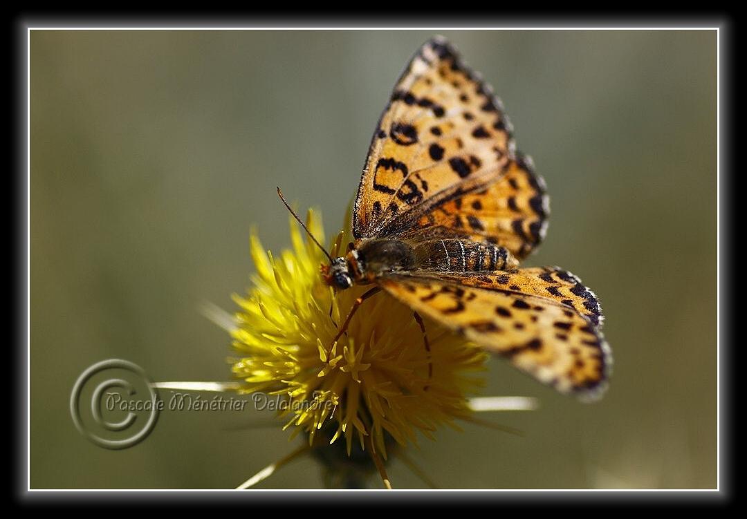 Mélitée orangée ou Damier orangé (Melitaea didyma ou Didymaeformia didyma) - Nymphalidae