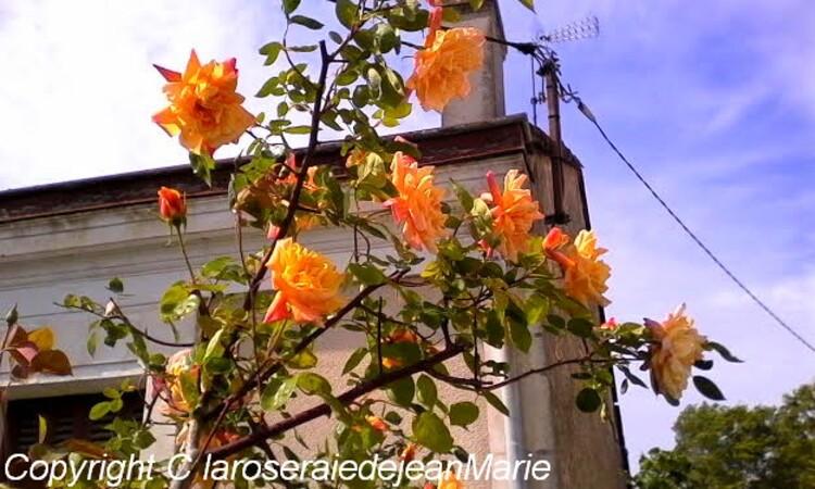 ma roseraie(mes premières roses) les conseils d'entretien sont dans un article sur le blog
