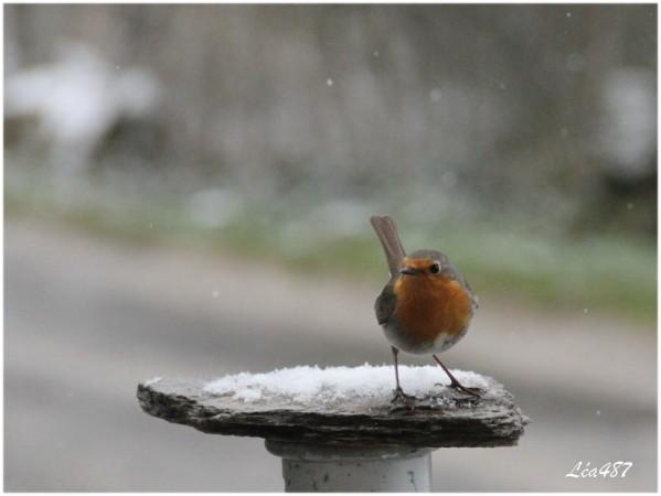 Oiseaux-3-4598-Rougegorge.jpg