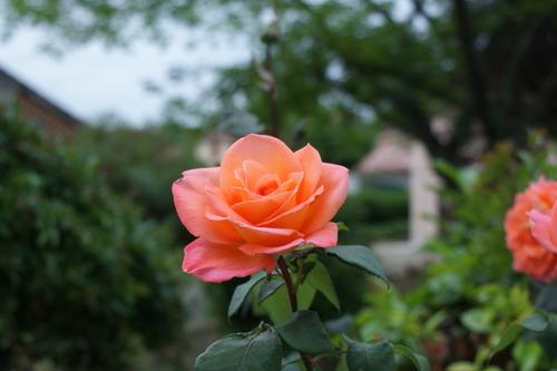 Rose du Samedi