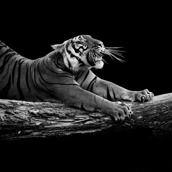 Animaux:  Magnifiques Portraits d'Animaux en Noir et Blanc
