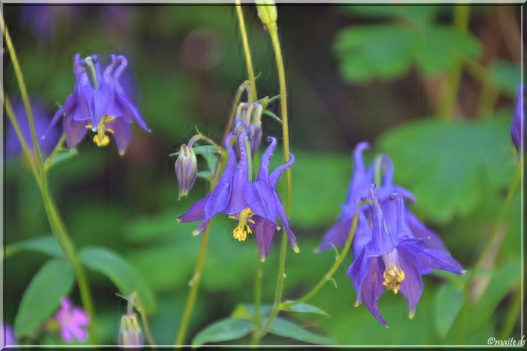 Fleurs sauvages - Ancolies