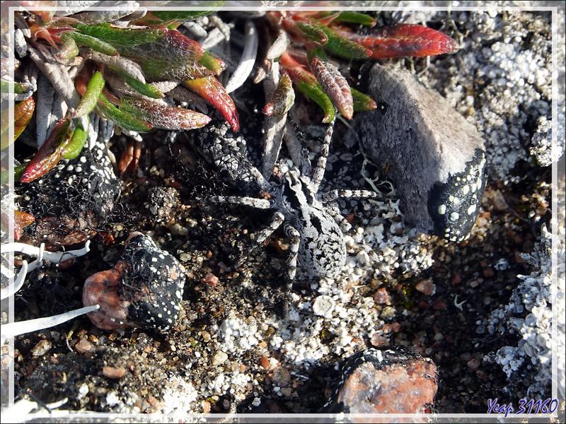 Lycose (Araignée-loup) et femelle avec ses œufs, Wolf spider and female with its eggs - Craig Harbour - Ellesmere Island - Nunavut - Canada