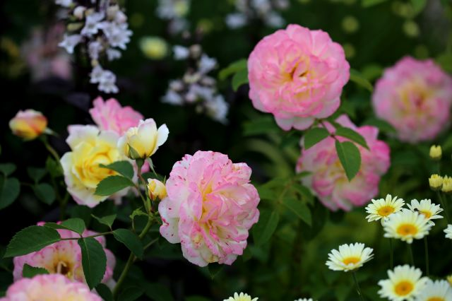 Des Compagnes pour mes Roses : Anthemis