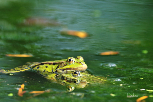 Les grenouilles de la mare
