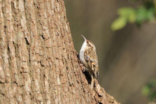 Grimpereau des Bois (Eurasian Treecreeper)