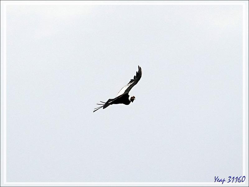 Vol de condor au-dessus du Glacier Perito Moreno - Peninsula de Magallanes - Patagonie - Argentine