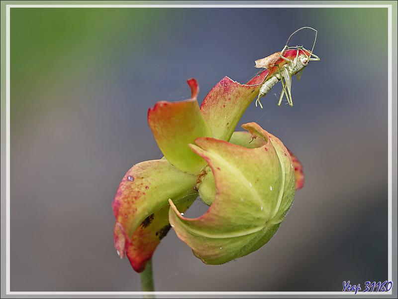 Sauterelle piégée par une toile d'araignée en haut d'une fleur de plante carnivore Sarracenia - Lartigau - Milhas - 31