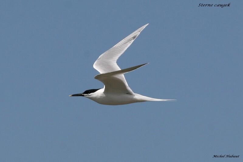 Sortie ornithologique du 8 mai avec Michel HUBAUT