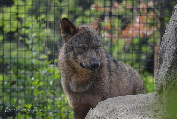 Parc Zoologique de Paris : Diabolo, le loup d'Espagne