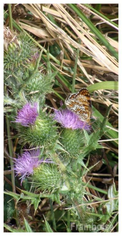 Papillon Mélitée