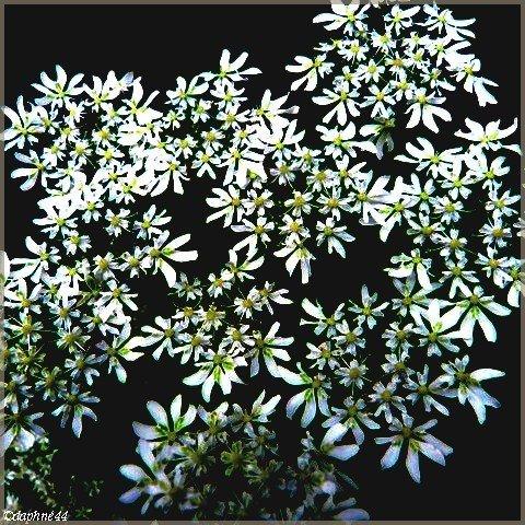 fleurs blanche22+cadre