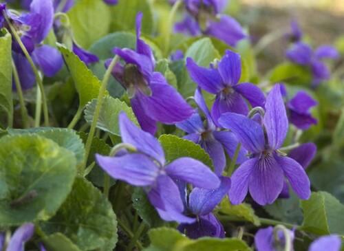 Jolies violettes
