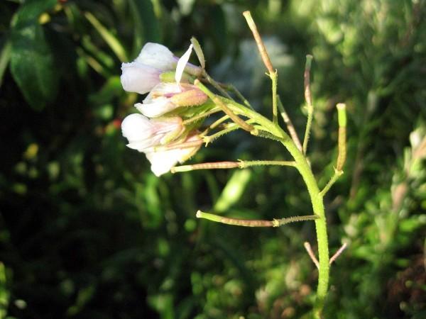 Fleur sauvage 1426