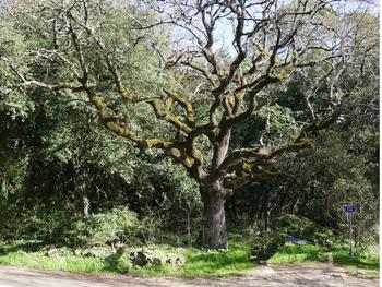 Beau chêne au débouché du pont sur l'Issole