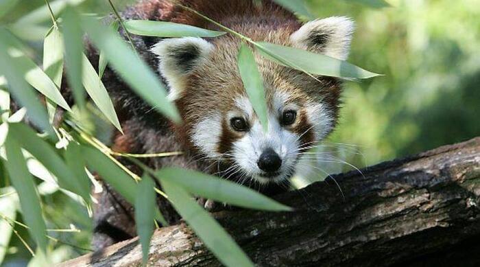 Mode De Vie D'un Panda Roux