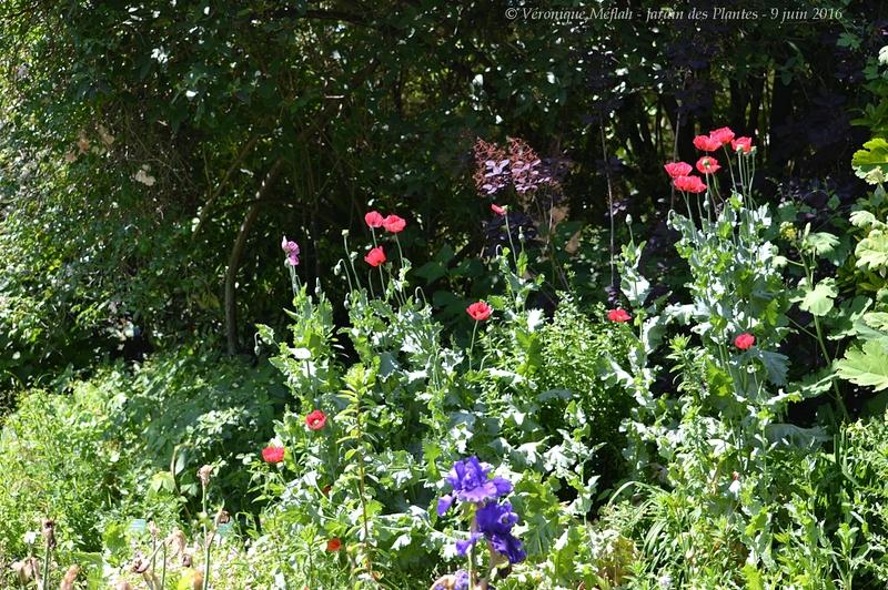 Jardin des Plantes de Paris : Jardin des iris et des plantes vivaces