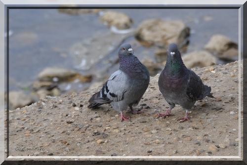 Pigeons sur le bord de la loire