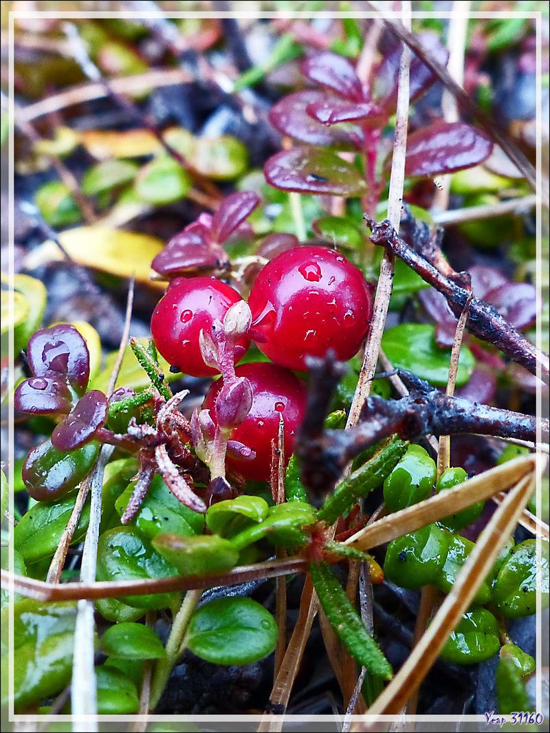 Airelle rouge, Mountain cranberry (Vaccinium vitis-idaea) - Edinburgh Island - Nunavut - Canada