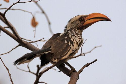 Calao leucomèle (Southern Yellow-billed Hornbill)