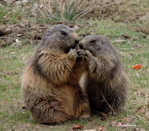 Galerie - Croque marmotte