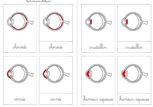 Anatomie de l'œil  (nomenclatures) MAJ