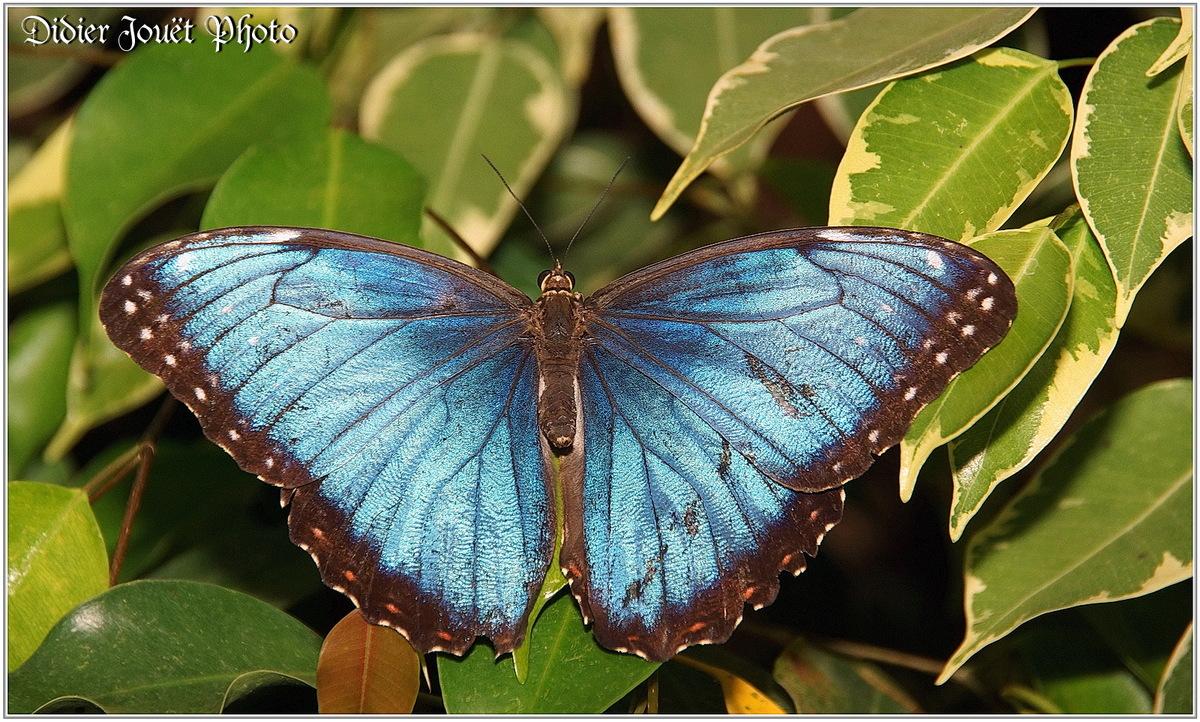 Morpho Bleu (3) - Morpho peleides