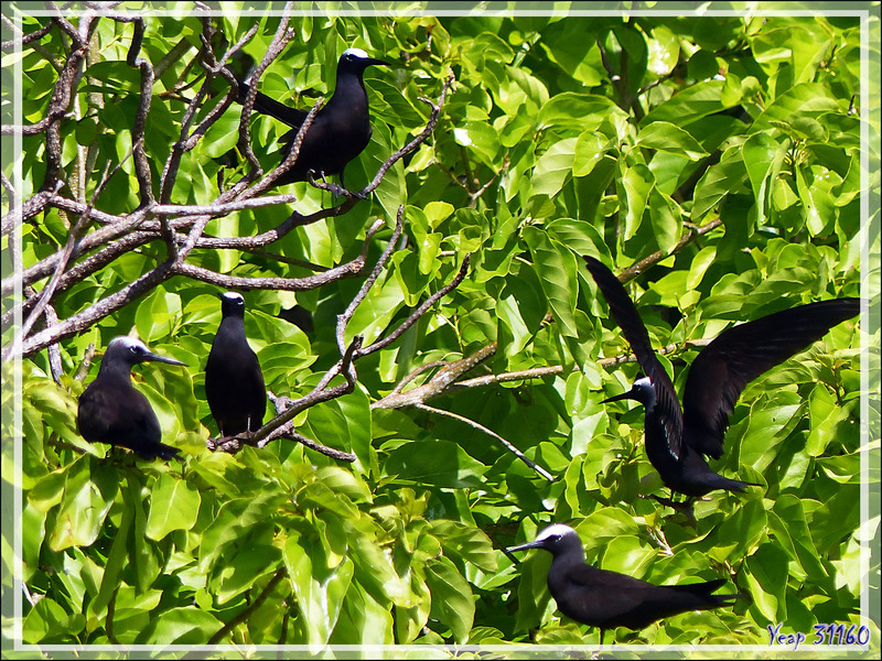 "Noddi noir, Black Noddy (Anous minutus) sur arbres ""Puka"" (Pisonia grandis) - Vers la passe sud Tumakohua (Tetamanu) - Atoll de Fakarava - Tuamotu - Polynésie française"