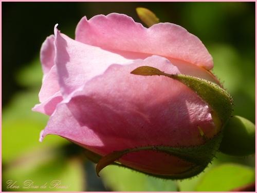 petit rose en trompette!