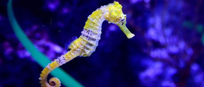 Un hippocampe photographié dans un aquarium de Californie le 26 mai 2016.