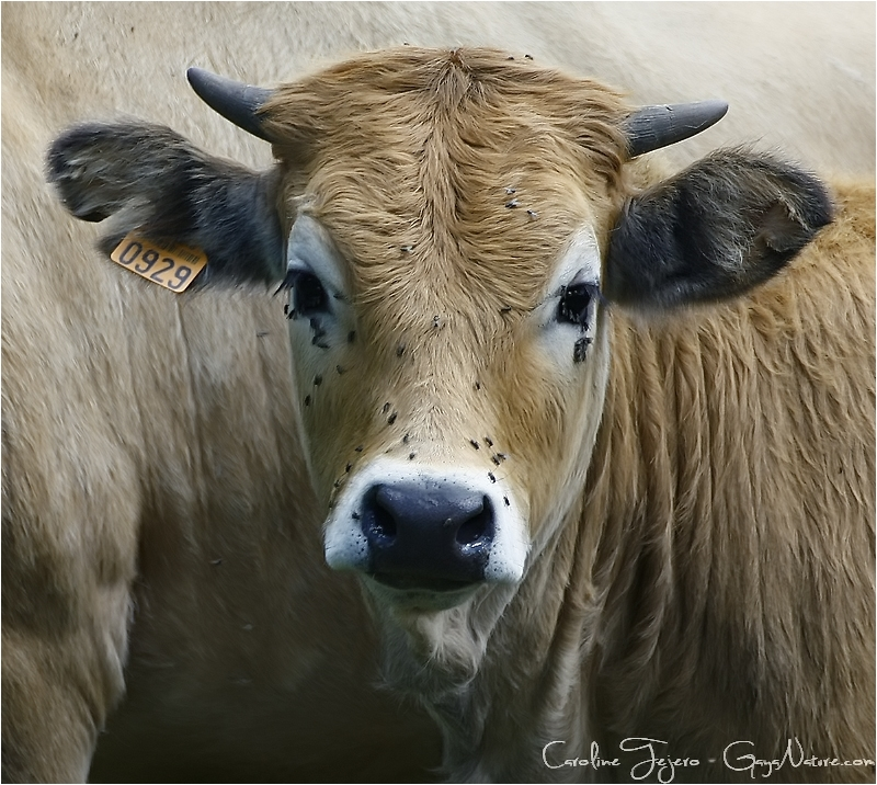 Vaches Aubracs