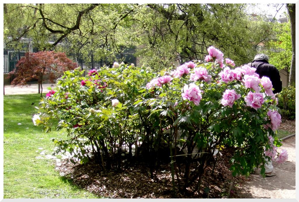 Paris jardin des plantes le jardin des pivoines ou carr for Jardin les plantes