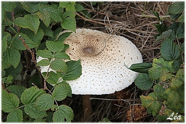 Champignons-0366-lepiote-elevee.jpg