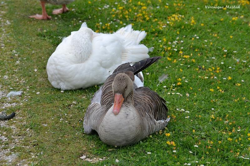 Les oies du Parc du château de Rambouillet