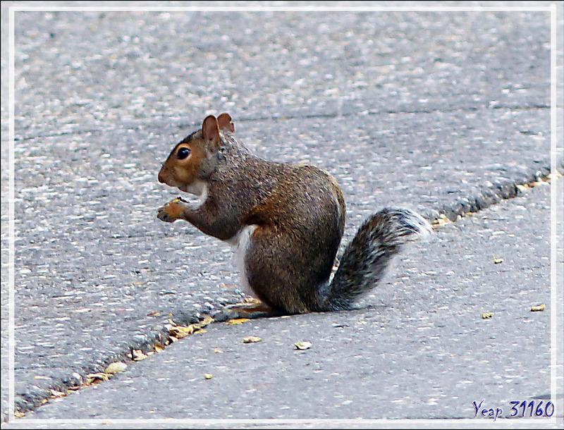 "Écureuil gris ""des villes"", Grey squirrel (Sciurus carolinensis) - Québec - Canada"