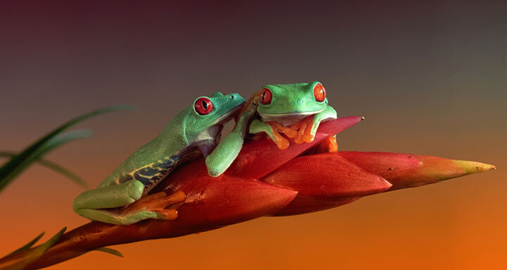 grenouille-animal-photo-macro3