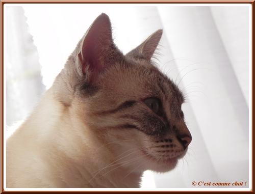 Profil de chat